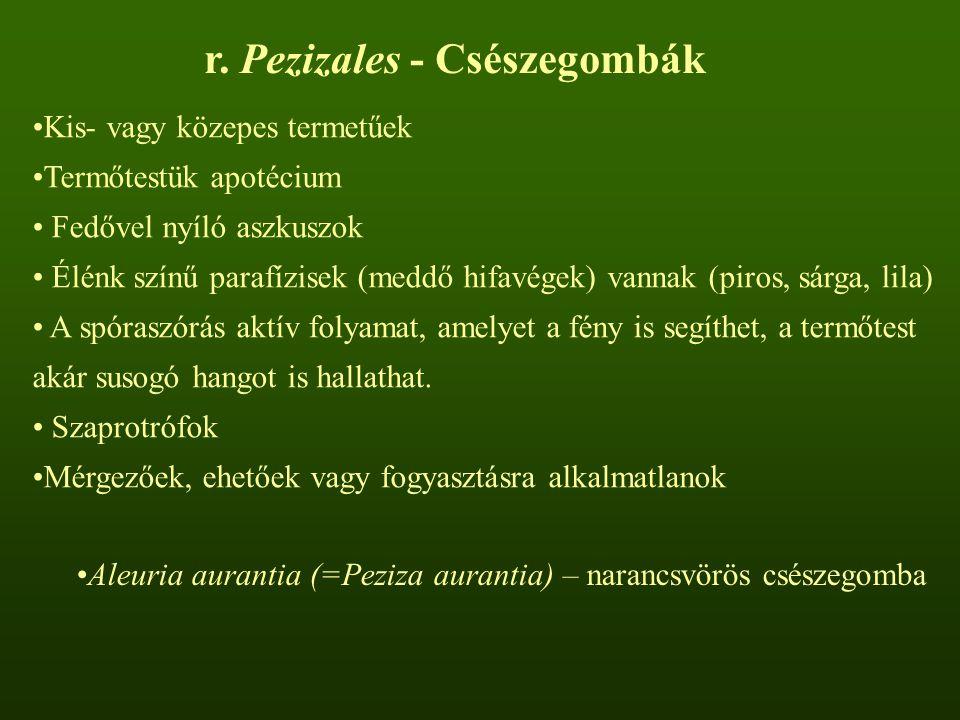 Aleuria aurantia (=Peziza aurantia) – narancsvörös csészegomba r.
