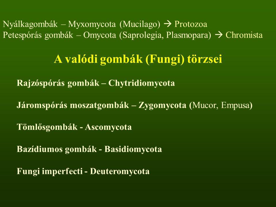 Nyálkagombák – Myxomycota (Mucilago)  Protozoa Petespórás gombák – Omycota (Saprolegia, Plasmopara)  Chromista A valódi gombák (Fungi) törzsei Rajzóspórás gombák – Chytridiomycota Járomspórás moszatgombák – Zygomycota (Mucor, Empusa) Tömlősgombák - Ascomycota Bazídiumos gombák - Basidiomycota Fungi imperfecti - Deuteromycota