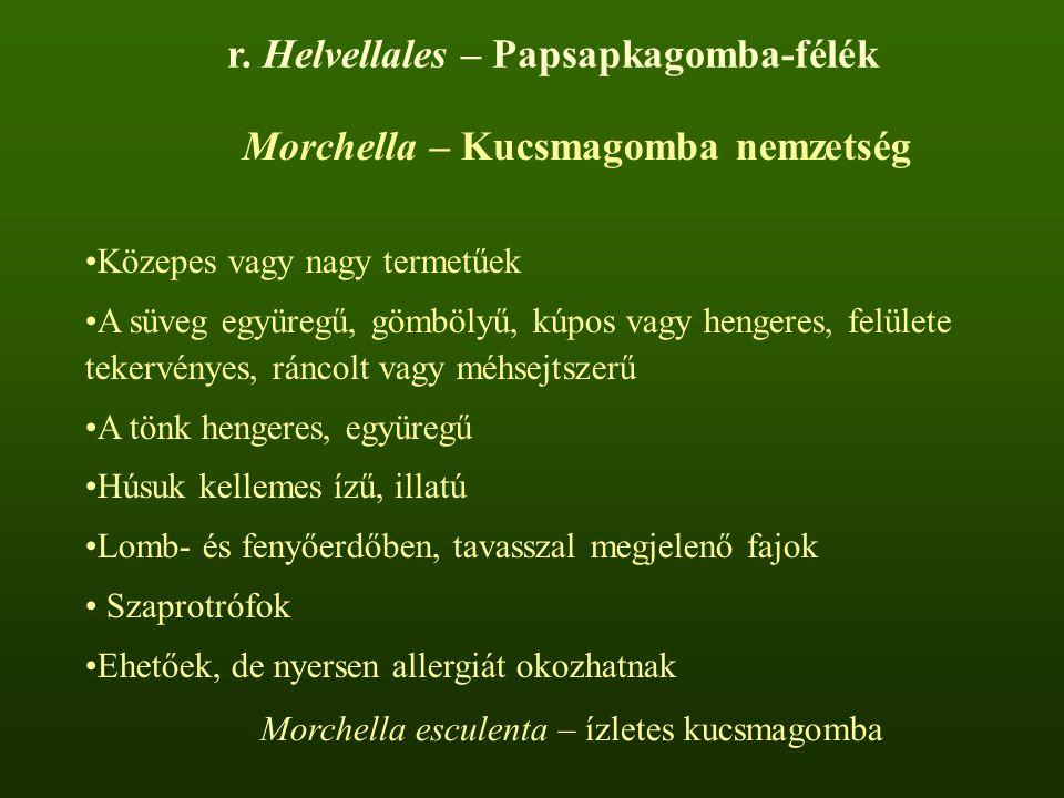 Morchella – Kucsmagomba nemzetség Közepes vagy nagy termetűek A süveg együregű, gömbölyű, kúpos vagy hengeres, felülete tekervényes, ráncolt vagy méhsejtszerű A tönk hengeres, együregű Húsuk kellemes ízű, illatú Lomb- és fenyőerdőben, tavasszal megjelenő fajok Szaprotrófok Ehetőek, de nyersen allergiát okozhatnak Morchella esculenta – ízletes kucsmagomba r.