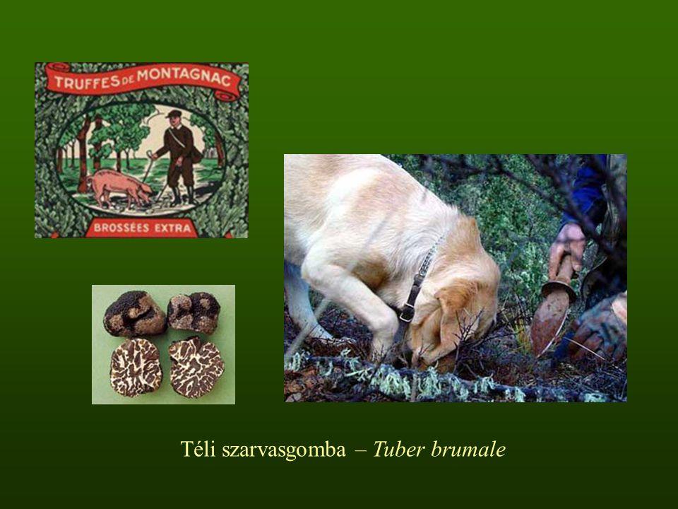 Téli szarvasgomba – Tuber brumale