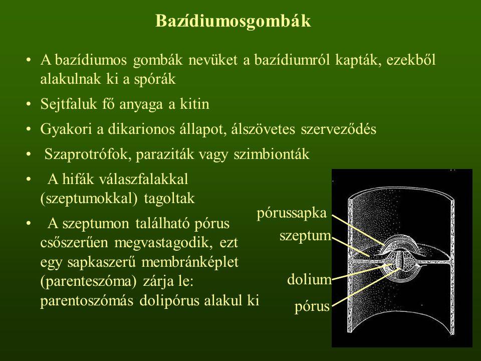 Bazídiumosgombák A bazídiumos gombák nevüket a bazídiumról kapták, ezekből alakulnak ki a spórák Sejtfaluk fő anyaga a kitin Gyakori a dikarionos állapot, álszövetes szerveződés Szaprotrófok, paraziták vagy szimbionták A hifák válaszfalakkal (szeptumokkal) tagoltak A szeptumon található pórus csőszerűen megvastagodik, ezt egy sapkaszerű membránképlet (parenteszóma) zárja le: parentoszómás dolipórus alakul ki szeptum pórussapka dolium pórus