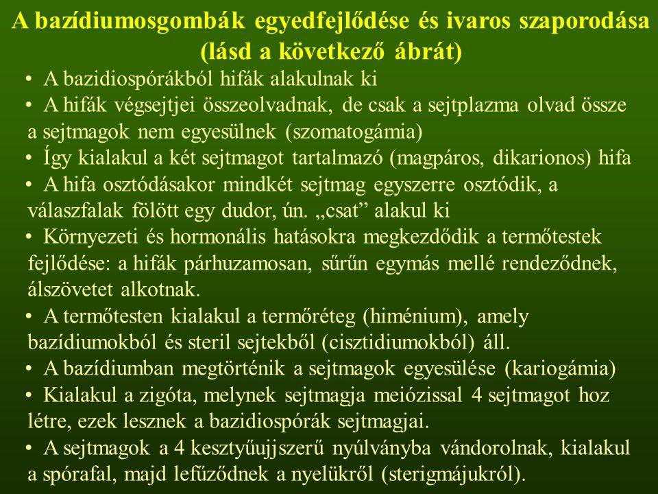 A bazidiospórákból hifák alakulnak ki A hifák végsejtjei összeolvadnak, de csak a sejtplazma olvad össze a sejtmagok nem egyesülnek (szomatogámia) Így kialakul a két sejtmagot tartalmazó (magpáros, dikarionos) hifa A hifa osztódásakor mindkét sejtmag egyszerre osztódik, a válaszfalak fölött egy dudor, ún.