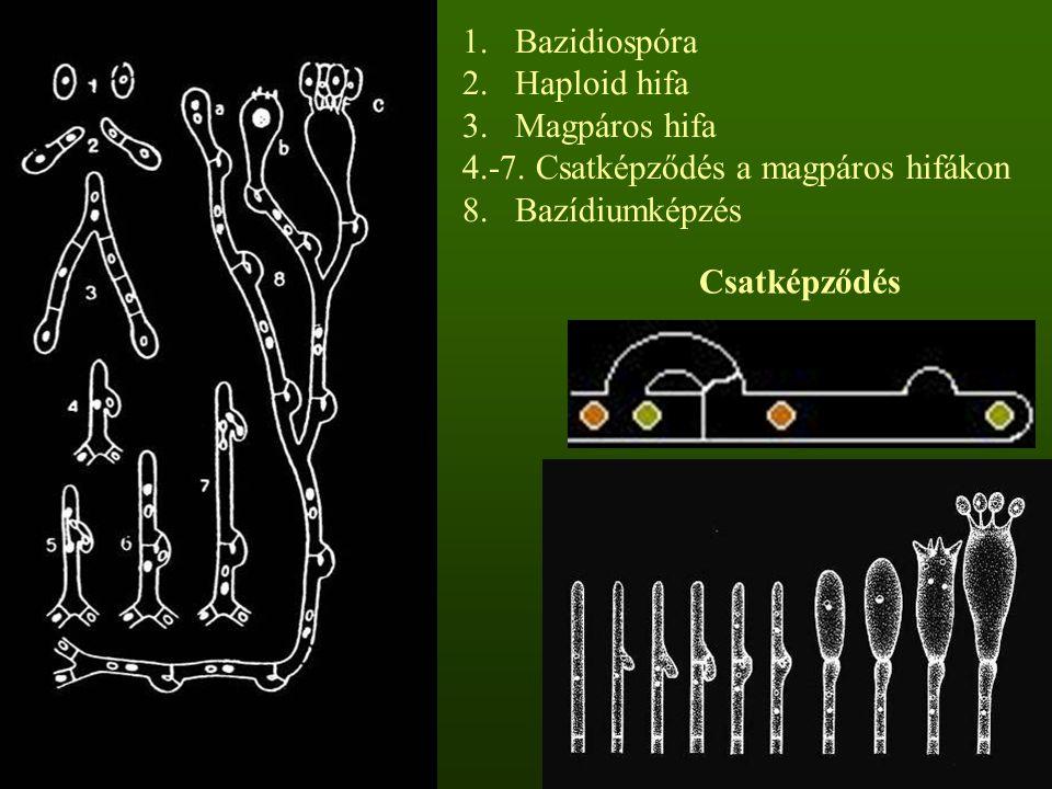 1.Bazidiospóra 2.Haploid hifa 3.Magpáros hifa 4.-7.