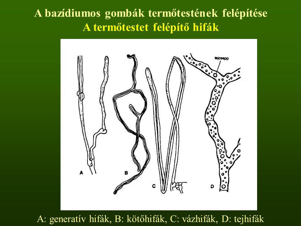 A bazídiumos gombák termőtestének felépítése A termőtestet felépítő hifák A: generatív hifák, B: kötőhifák, C: vázhifák, D: tejhifák