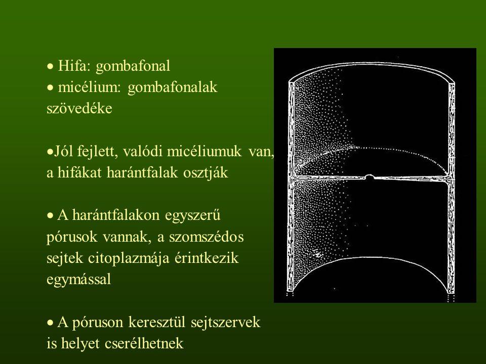  Hifa: gombafonal  micélium: gombafonalak szövedéke  Jól fejlett, valódi micéliumuk van, a hifákat harántfalak osztják  A harántfalakon egyszerű pórusok vannak, a szomszédos sejtek citoplazmája érintkezik egymással  A póruson keresztül sejtszervek is helyet cserélhetnek