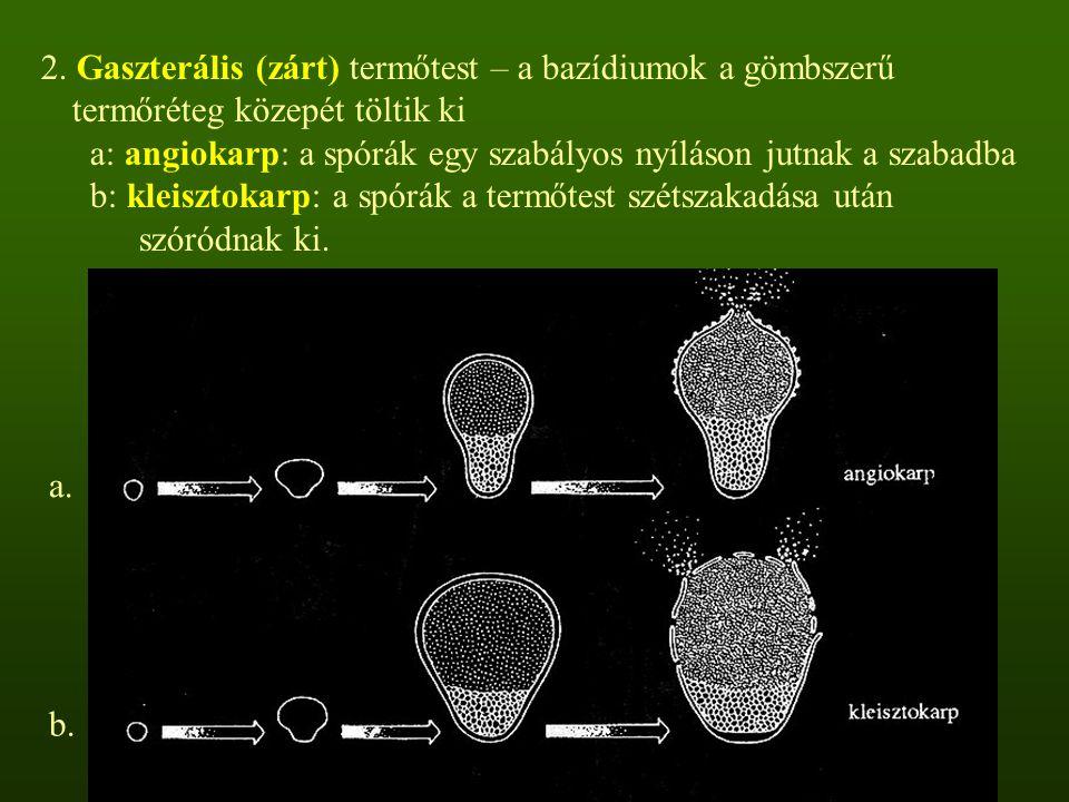 2. Gaszterális (zárt) termőtest – a bazídiumok a gömbszerű termőréteg közepét töltik ki a: angiokarp: a spórák egy szabályos nyíláson jutnak a szabadb