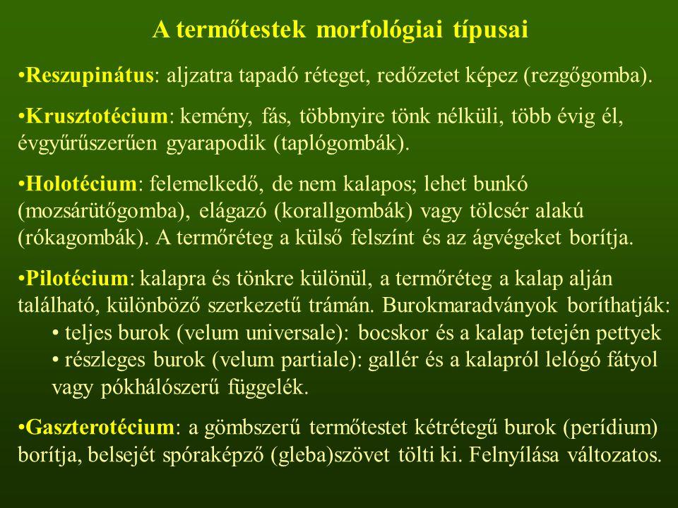 A termőtestek morfológiai típusai Reszupinátus: aljzatra tapadó réteget, redőzetet képez (rezgőgomba).
