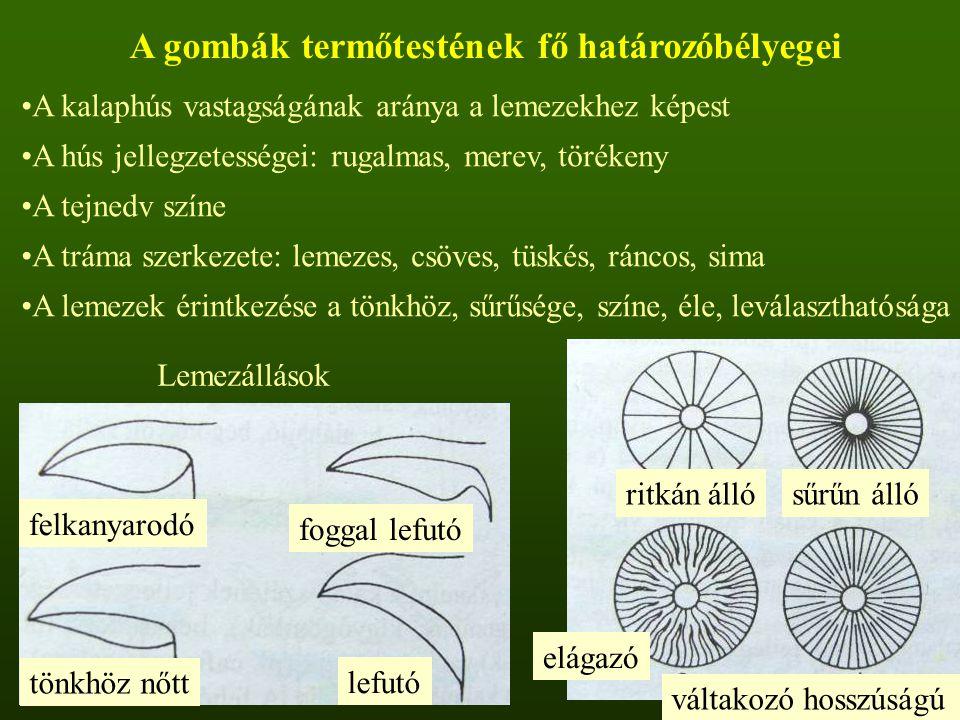 A gombák termőtestének fő határozóbélyegei A kalaphús vastagságának aránya a lemezekhez képest A hús jellegzetességei: rugalmas, merev, törékeny A tejnedv színe A tráma szerkezete: lemezes, csöves, tüskés, ráncos, sima A lemezek érintkezése a tönkhöz, sűrűsége, színe, éle, leválaszthatósága felkanyarodó foggal lefutó lefutó tönkhöz nőtt Lemezállások ritkán állósűrűn álló elágazó váltakozó hosszúságú
