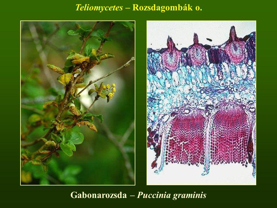 Gabonarozsda – Puccinia graminis Teliomycetes – Rozsdagombák o.