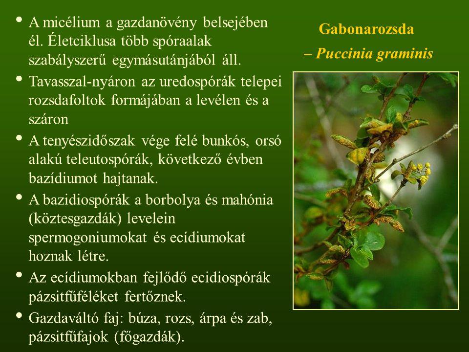 Gabonarozsda – Puccinia graminis A micélium a gazdanövény belsejében él.