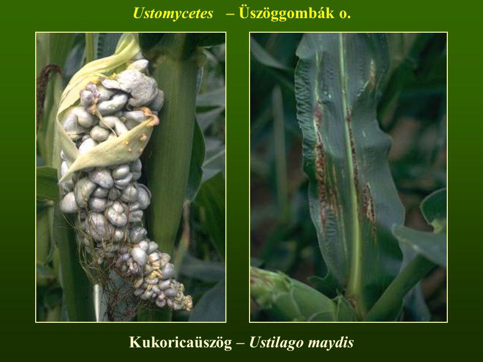 Kukoricaüszög – Ustilago maydis Ustomycetes – Üszöggombák o.
