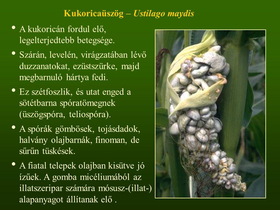 Kukoricaüszög – Ustilago maydis A kukoricán fordul elő, legelterjedtebb betegsége.