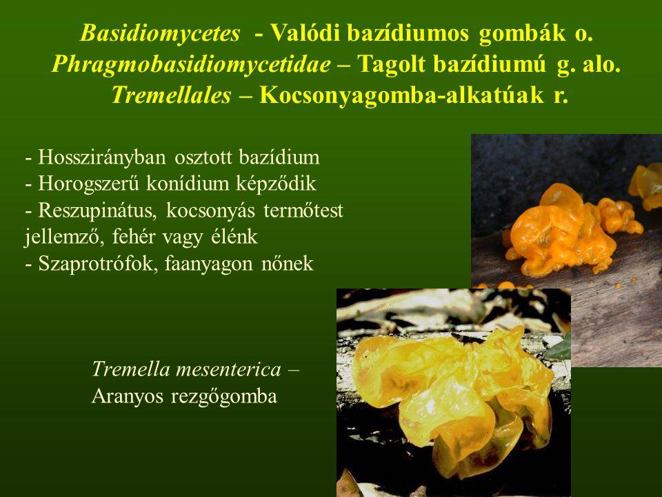 - Hosszirányban osztott bazídium - Horogszerű konídium képződik - Reszupinátus, kocsonyás termőtest jellemző, fehér vagy élénk - Szaprotrófok, faanyagon nőnek Tremella mesenterica – Aranyos rezgőgomba Basidiomycetes - Valódi bazídiumos gombák o.