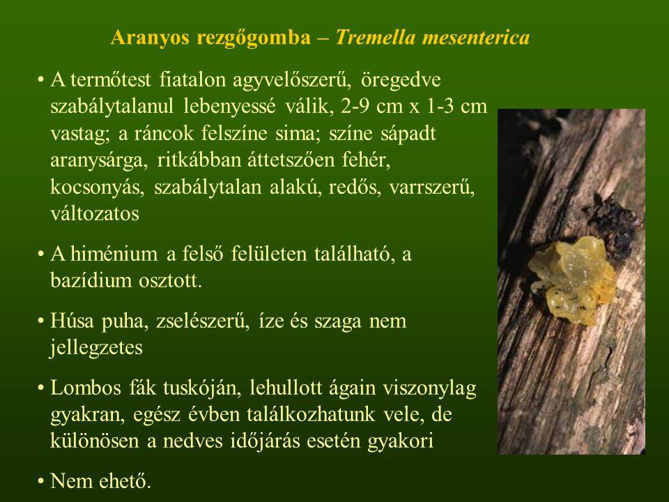 Aranyos rezgőgomba – Tremella mesenterica A termőtest fiatalon agyvelőszerű, öregedve szabálytalanul lebenyessé válik, 2-9 cm x 1-3 cm vastag; a ráncok felszíne sima; színe sápadt aranysárga, ritkábban áttetszően fehér, kocsonyás, szabálytalan alakú, redős, varrszerű, változatos A himénium a felső felületen található, a bazídium osztott.