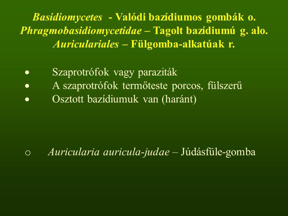  Szaprotrófok vagy paraziták  A szaprotrófok termőteste porcos, fülszerű  Osztott bazídiumuk van (haránt) o Auricularia auricula-judae – Júdásfüle-gomba Basidiomycetes - Valódi bazídiumos gombák o.