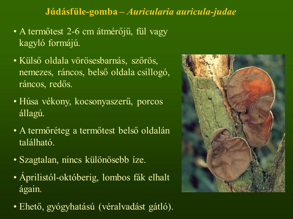 Júdásfüle-gomba – Auricularia auricula-judae A termőtest 2-6 cm átmérőjű, fül vagy kagyló formájú.