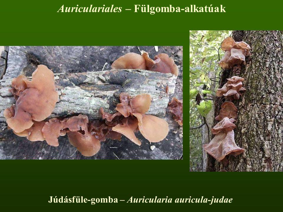 Júdásfüle-gomba – Auricularia auricula-judae Auriculariales – Fülgomba-alkatúak