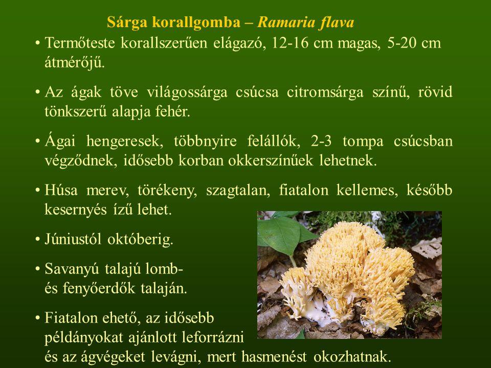 Termőteste korallszerűen elágazó, 12-16 cm magas, 5-20 cm átmérőjű.