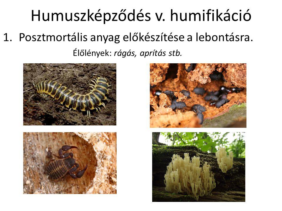 Humuszképződés v. humifikáció 1.Posztmortális anyag előkészítése a lebontásra. Élőlények: rágás, aprítás stb.