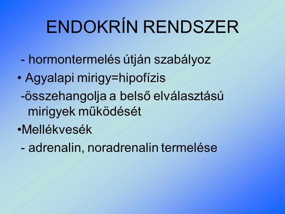 ENDOKRÍN RENDSZER - hormontermelés útján szabályoz Agyalapi mirigy=hipofízis -összehangolja a belső elválasztású mirigyek működését Mellékvesék - adrenalin, noradrenalin termelése