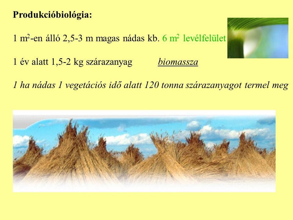 Produkcióbiológia: 1 m 2 -en álló 2,5-3 m magas nádas kb.