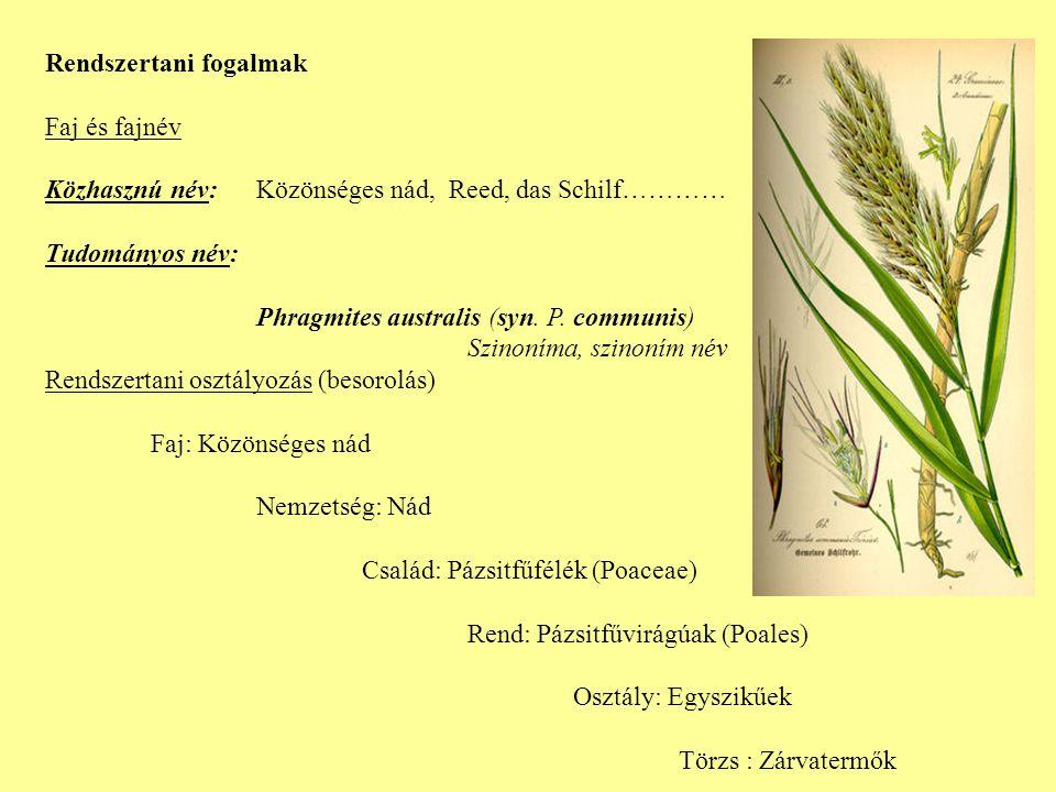 Rendszertani fogalmak Faj és fajnév Közhasznú név: Közönséges nád, Reed, das Schilf………… Tudományos név: Phragmites australis (syn.