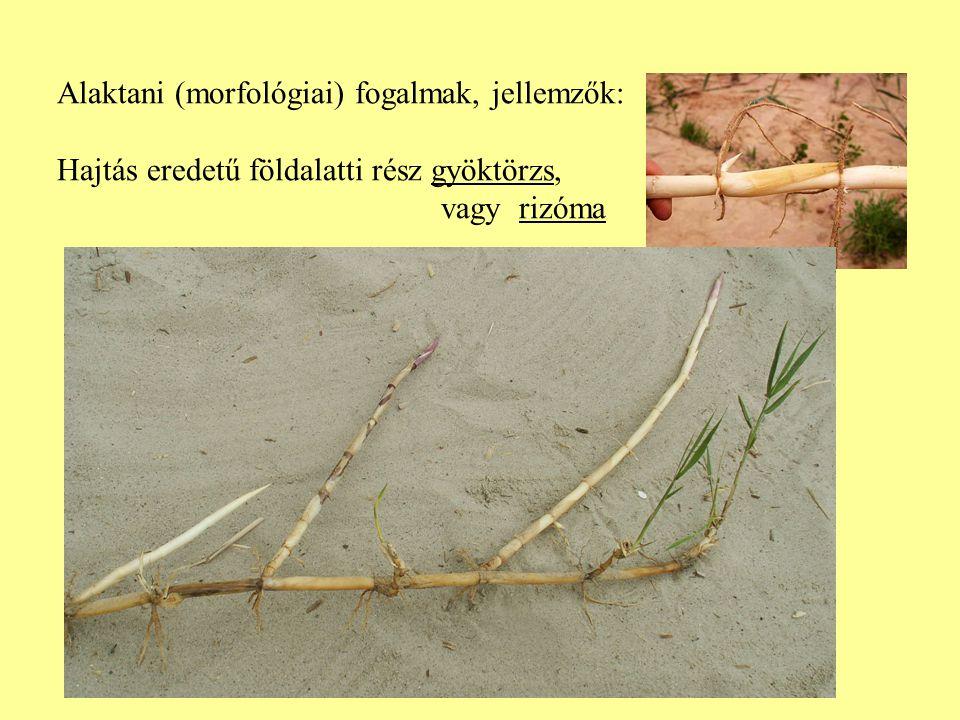 Alaktani (morfológiai) fogalmak, jellemzők: Hajtás eredetű földalatti rész gyöktörzs, vagy rizóma