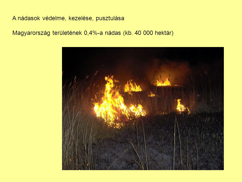 A nádasok védelme, kezelése, pusztulása Magyarország területének 0,4%-a nádas (kb. 40 000 hektár)