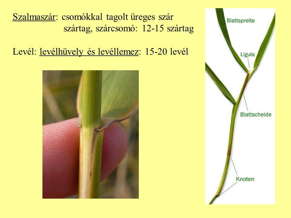 Szalmaszár: csomókkal tagolt üreges szár szártag, szárcsomó: 12-15 szártag Levél: levélhüvely és levéllemez: 15-20 levél