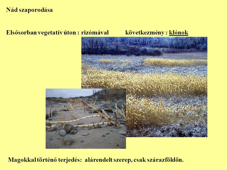 Nád szaporodása Elsősorban vegetatív úton : rizómával következmény : klónok Magokkal történő terjedés: alárendelt szerep, csak szárazföldön.