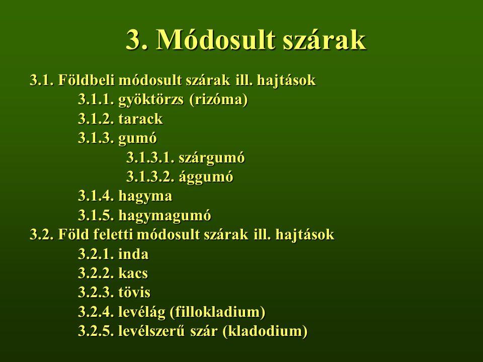 3. Módosult szárak 3.1. Földbeli módosult szárak ill. hajtások 3.1.1. gyöktörzs (rizóma) 3.1.2. tarack 3.1.3. gumó 3.1.3.1. szárgumó 3.1.3.2. ággumó 3
