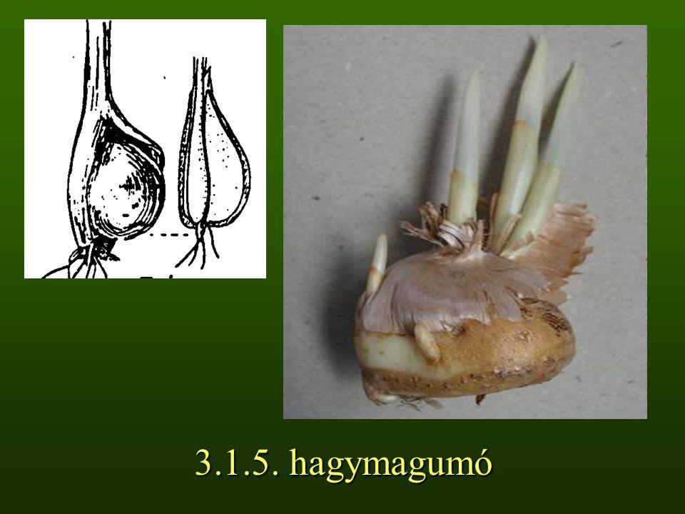 3.1.5. hagymagumó