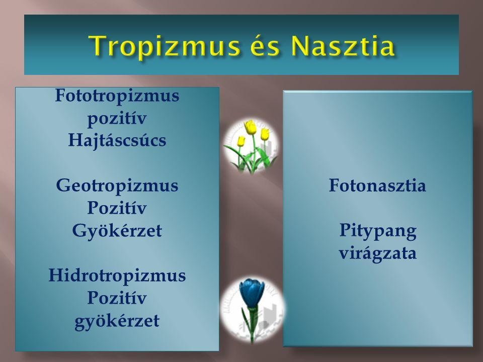  Tropizmus  Gyököcske  rügyecske  Nasztia  Pl. mimóza  Pl. tulipán geotropizmus szeizmonasztia termonasztia Fototropizmus pozitív Hajtáscsúcs Ge