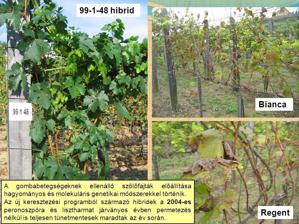 Bianca Regent 99-1-48 hibrid A gombabetegségeknek ellenálló szőlőfajták előállítása hagyományos és molekuláris genetikai módszerekkel történik. Az új