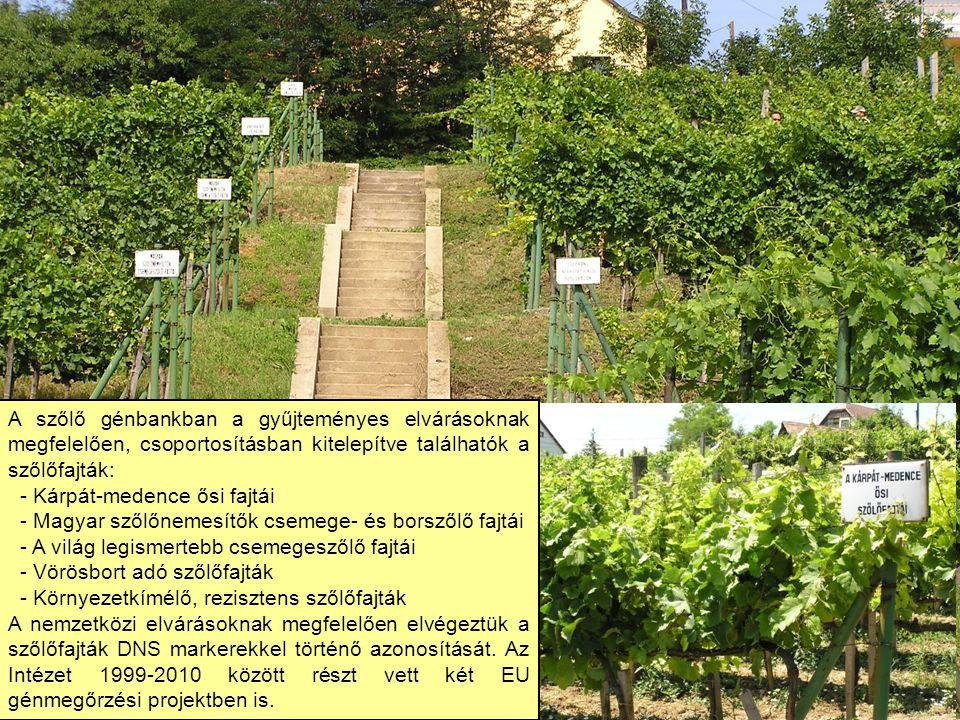 A szőlő génbankban a gyűjteményes elvárásoknak megfelelően, csoportosításban kitelepítve találhatók a szőlőfajták: - Kárpát-medence ősi fajtái - Magya