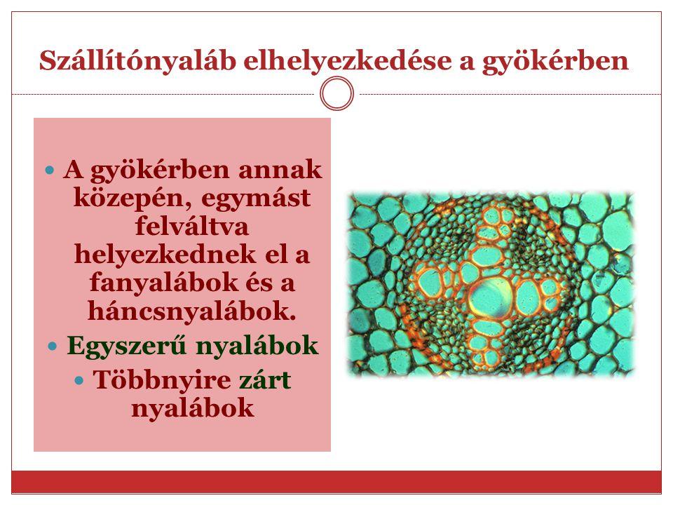 A gyökér felépítése Farész jellemzése -fasejt-facső(trachea) Orsó alakú,harántfalak eltűnnek Víz és ásványi sók szállítása Háncsrész jellemzése -rosts