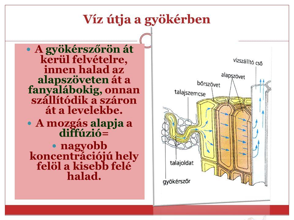 Szállítónyaláb elhelyezkedése a gyökérben A gyökérben annak közepén, egymást felváltva helyezkednek el a fanyalábok és a háncsnyalábok. Egyszerű nyalá