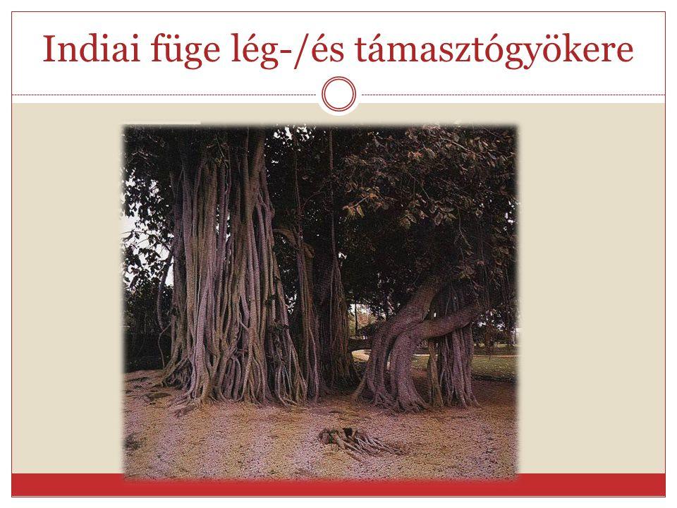 Módosult/járulékos gyökerek Répa-karógyökere- raktározó módosult Fagyöngy- parazita szívógyökér- módosult Mangrove-léggyökere- támasztó, szellőztető j