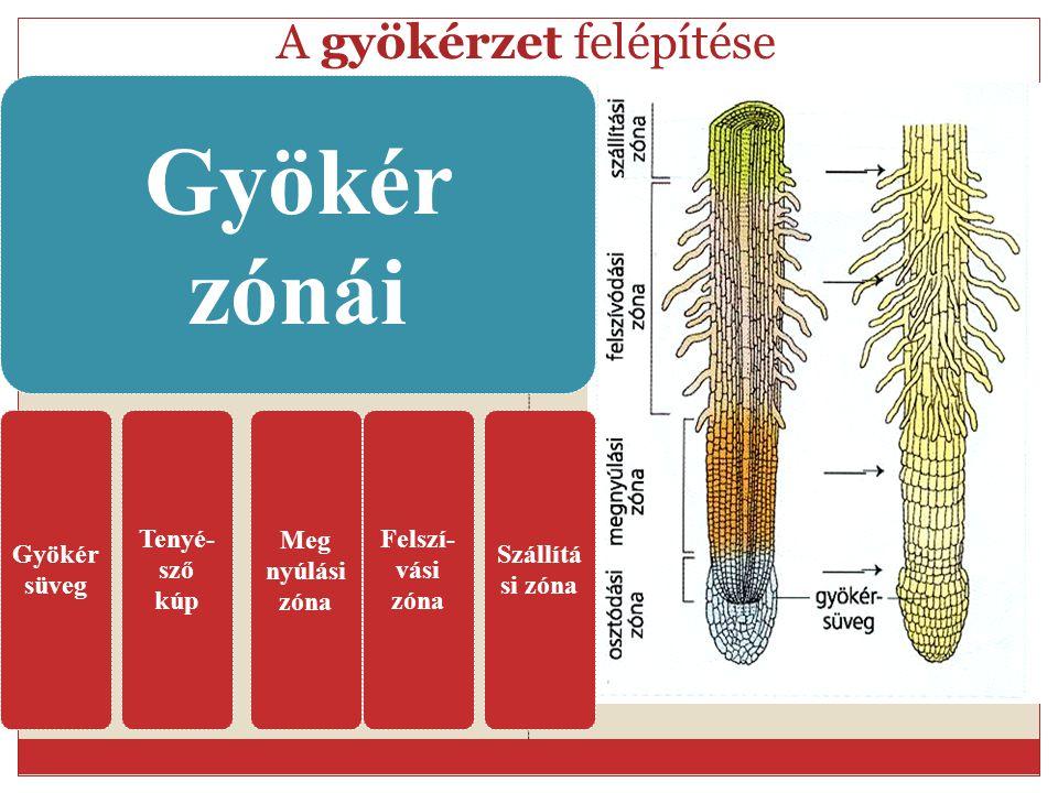 A gyökérzet felépítése Gyökér zónái Gyökér süveg Tenyé- sző kúp Meg nyúlási zóna Felszí- vási zóna Szállítá si zóna