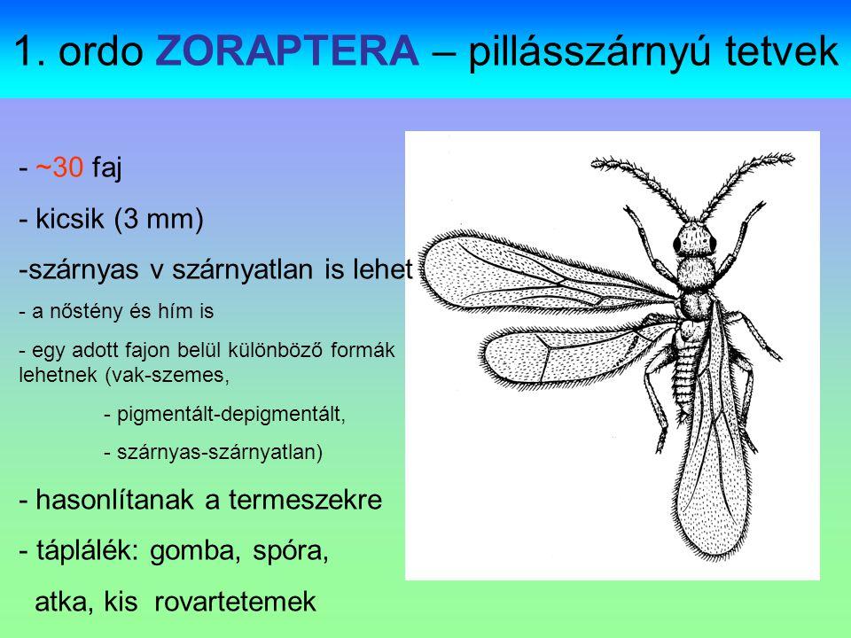 Zoraptera: zorapterans, angel insects Gregarious fában, korhadó~, fakéreg alatt néhányuk vak, pigmenthiányos, és szárnyatlan, míg ugyanezen faj más tagjai sötéten pigmentáltak, összetett szemük van és szárnyuk
