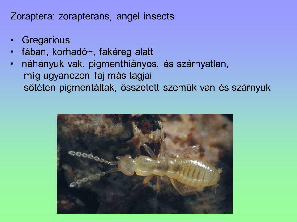 Subordo: Cicadomorpha Tegulájuk hiányzik.A homlok és a fejpajzs között nincs varrat.
