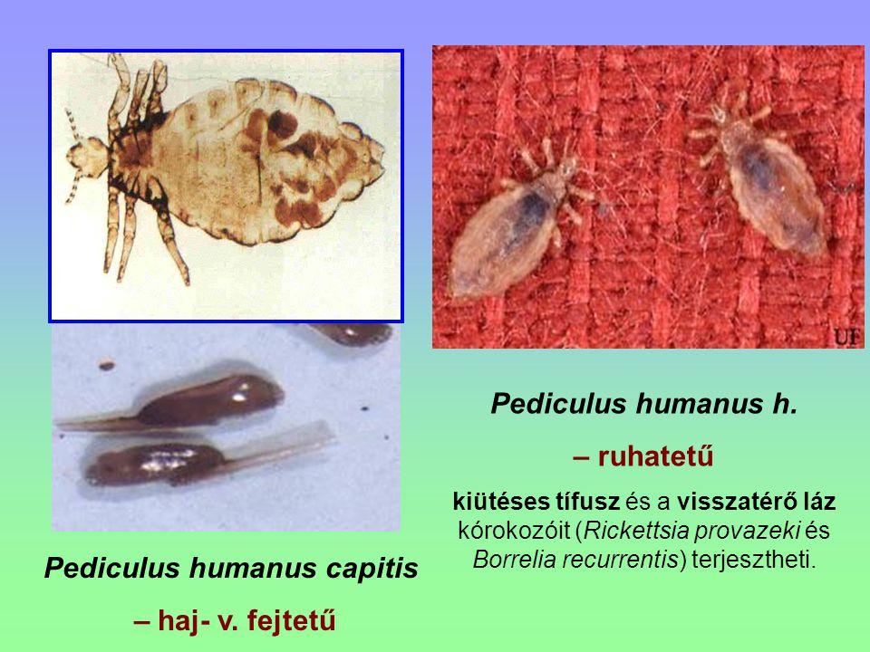 Familia: Naucoridae - Csíkpoloskák Testük széles, erősen lapított, fejük is széles.