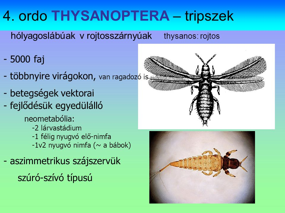 Adult and nymph of Membracis lunata (Membracidae, Hemiptera): Maceió (Alagoas state, Brazil, 7.VIII.2007)