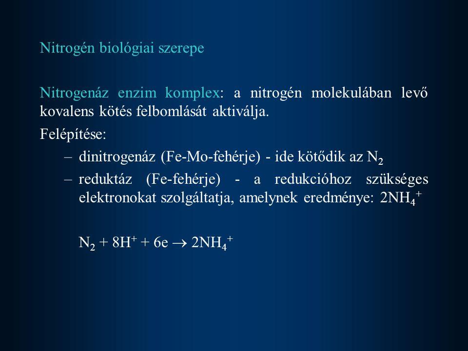 Nitrogén biológiai szerepe Nitrogenáz enzim komplex: a nitrogén molekulában levő kovalens kötés felbomlását aktiválja. Felépítése: –dinitrogenáz (Fe-M