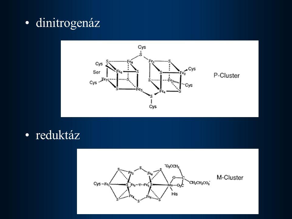 dinitrogenáz reduktáz