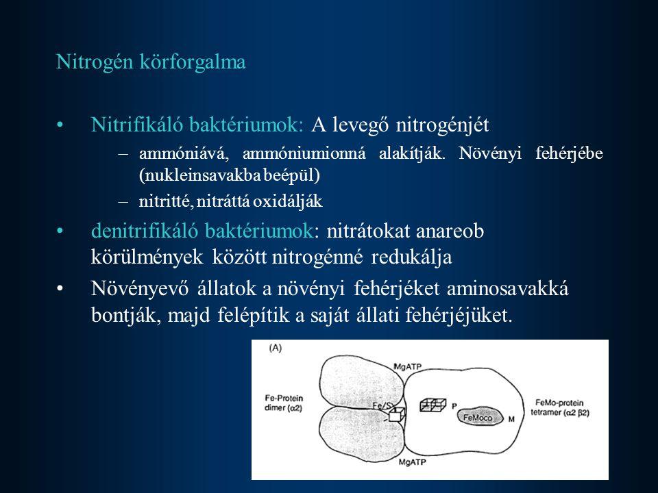 Nitrogén körforgalma Nitrifikáló baktériumok: A levegő nitrogénjét –ammóniává, ammóniumionná alakítják. Növényi fehérjébe (nukleinsavakba beépül) –nit