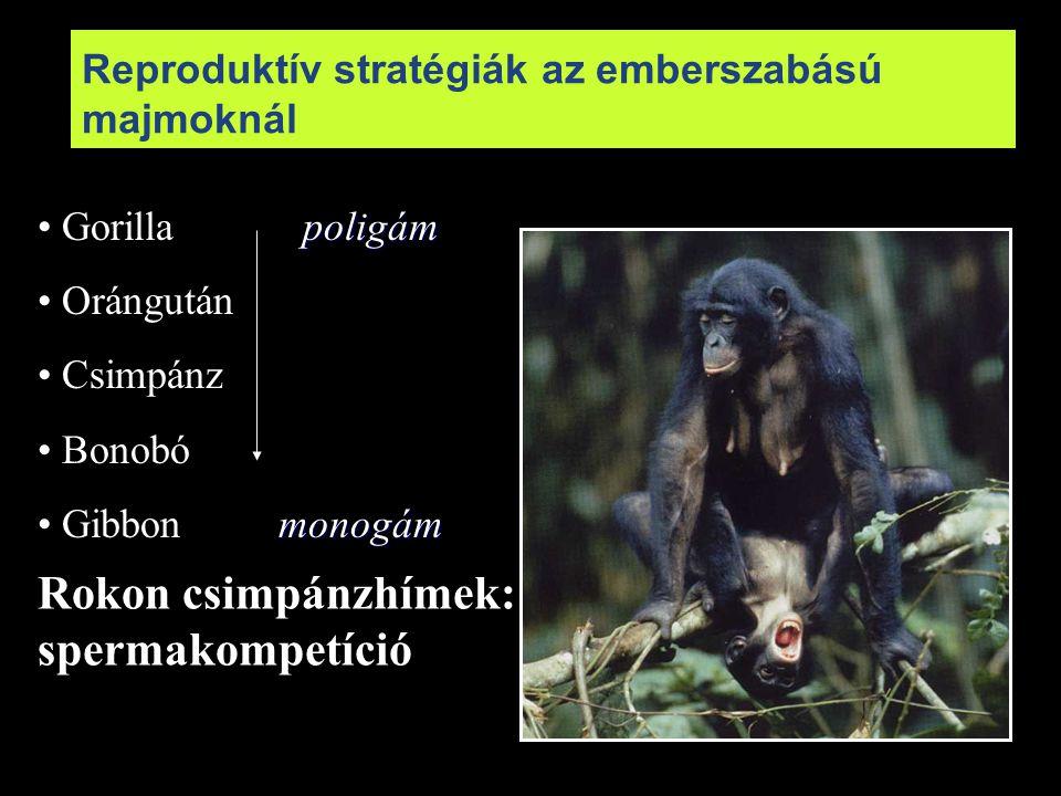 poligám Gorilla poligám Orángután Csimpánz Bonobó monogám Gibbon monogám Reproduktív stratégiák az emberszabású majmoknál Rokon csimpánzhímek: spermak