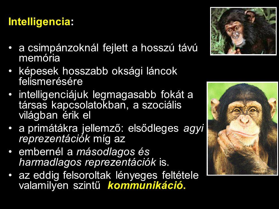 Intelligencia: a csimpánzoknál fejlett a hosszú távú memória képesek hosszabb oksági láncok felismerésére intelligenciájuk legmagasabb fokát a társas