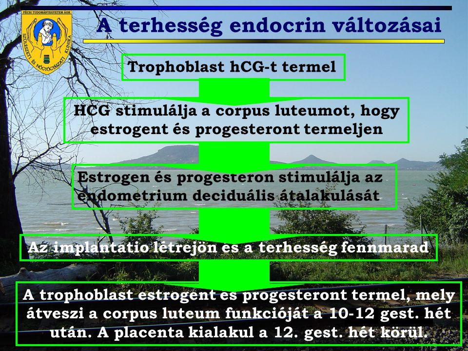 Trophoblast hCG-t termel HCG stimulálja a corpus luteumot, hogy estrogent és progesteront termeljen Estrogen és progesteron stimulálja az endometrium