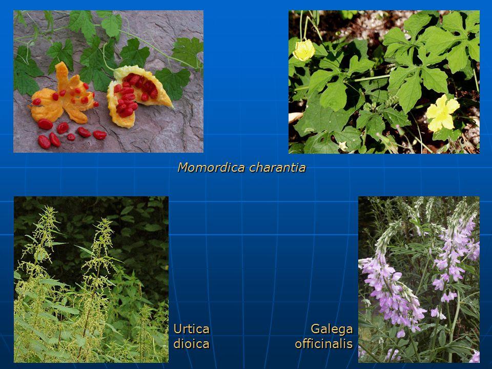 Urtica dioica Galega officinalis Momordica charantia